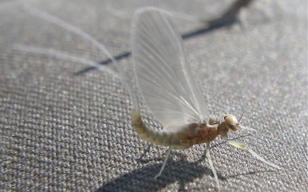 Hatch Profile – The Mayfly Formerly Known as Pseudocloeon