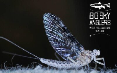 Hatch Profile – Callibaetis – Three Geeky Bug Facts That Will Help You Catch More Fish