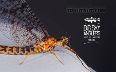 Hatch Profile – Brown Drakes: Three Geeky Bug Facts That Will Help You Catch More Fish