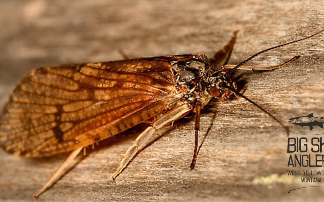 Hatch Profile – Arctopsyche grandis; My favorite Salmonfly pattern on the Madison River