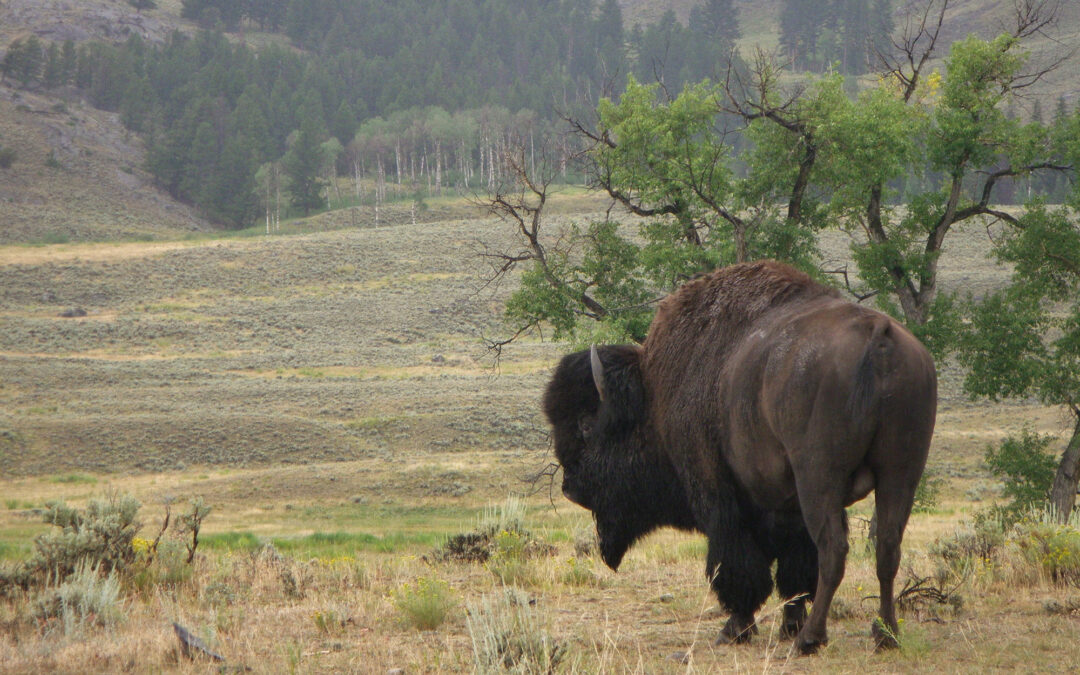 GUIDED INTERPRETIVE TOURS IN YELLOWSTONE NATIONAL PARK